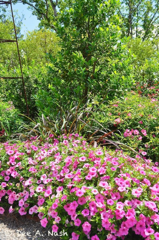 Supertunia® Bubblegum Pink, along with purple fountain grass in the rose garden