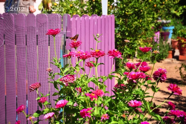 These zinnias against a pink fence in Tucson are a great example of repetition of color.