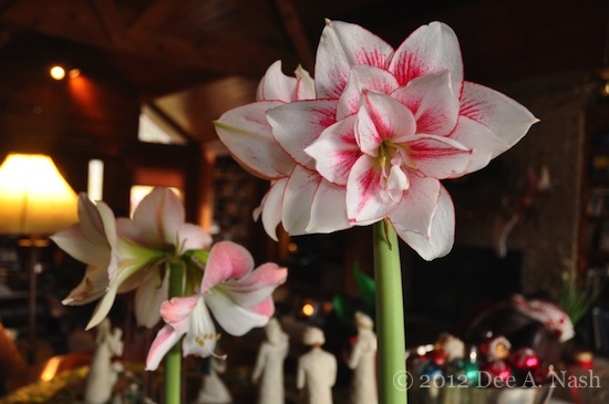 Amaryllis (Hippeastrum) 'Elvas' and 'Apple Blossom'-imp