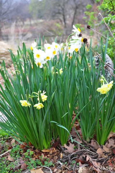 Narcissus Chinese sacred lily and 'Cheerfulness' (yellow strain) planted outside.
