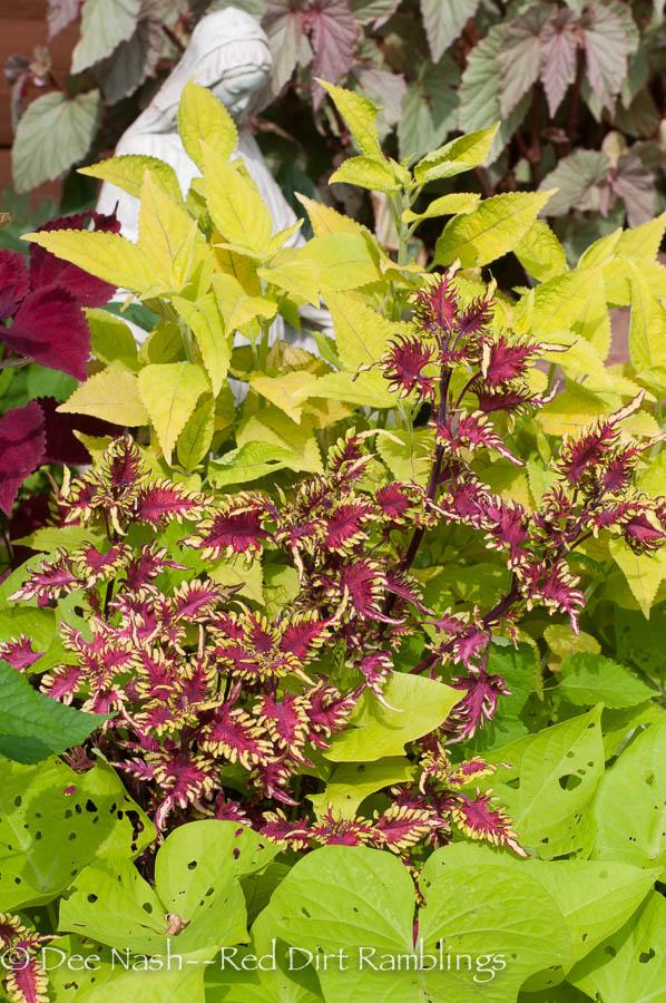 Beautiful foliage carries the summer garden. Coleus Bonefish with 'The Line' coleus and 'Marguerite' sweet potato vine.