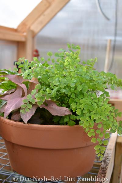 A mixed pot of ferns and sweet potato vine