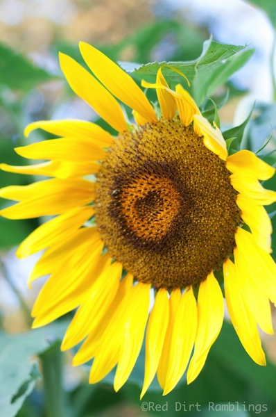 Is there any more complicated a flower structure than the center of a sunflower?
