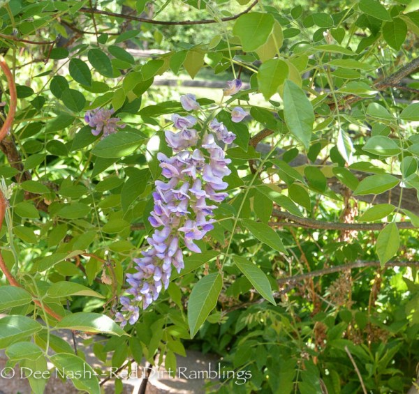 My American wisteria, Wisteria frutescens, froze a month ago. It was covered with blooms. I'm pleased to see that some blooms still managed to do their thing.