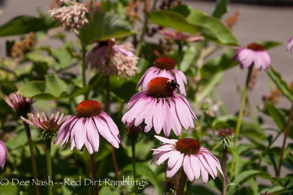 Bumblebee on Echinacea Chickadee Gardens