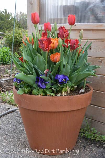 Buy bulbs now. Tulips in terra cotta pot. 'Temple's Favourite', 'Rococo' and 'Orange Princess'