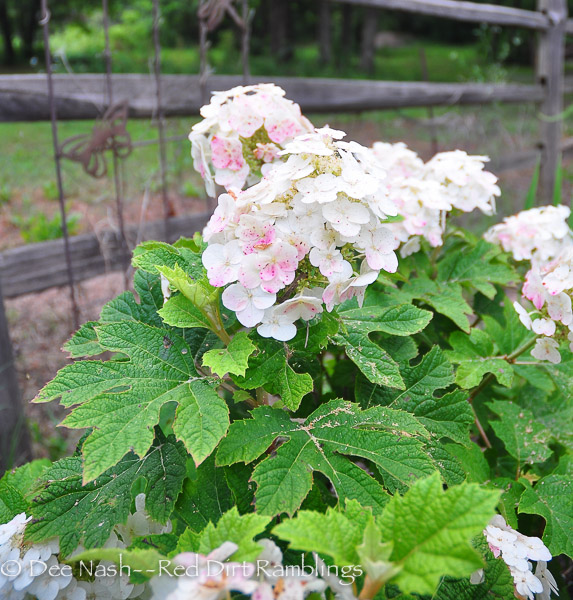 Hydrangea quercifolia 'Ruby Slippers' just beginning to bloom at the back arbor. Later, blooms turn red starting from the bottom and moving upward.