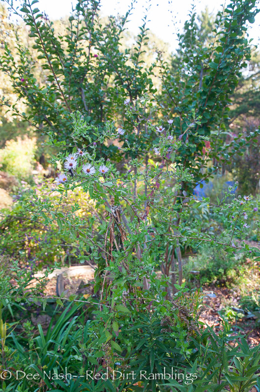 Climbing aster, Symphyotrichum carolinianum, with pink crapemyrtle out of bloom. This is on the other side of where 'The Fairy' once bloomed.