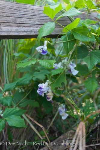 No perfume like Vigna caracalla, corkscrew vine, a tropical grown as an annual here.