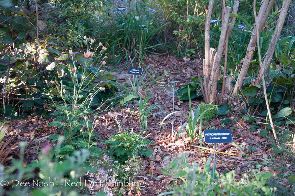 The hole left by 'The Fairy' rose is already filled with daylilies, mums and true lilies. I also hope the Japanese beautyberry grows more in the direction  of the best instead of just the path. It was crowded by 'The Fairy'