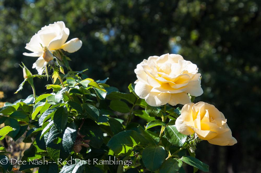 Sunshine Daydream rose