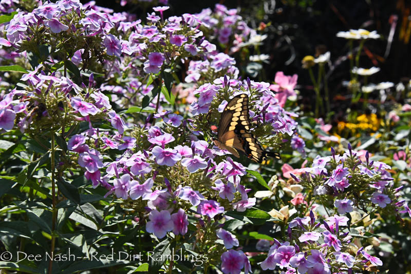 I believe this is an Giant Swallowtail butterfly, but I'm no butterfly expert. It was a such a beauty floating around the garden today. Yesterday, there were two of them.