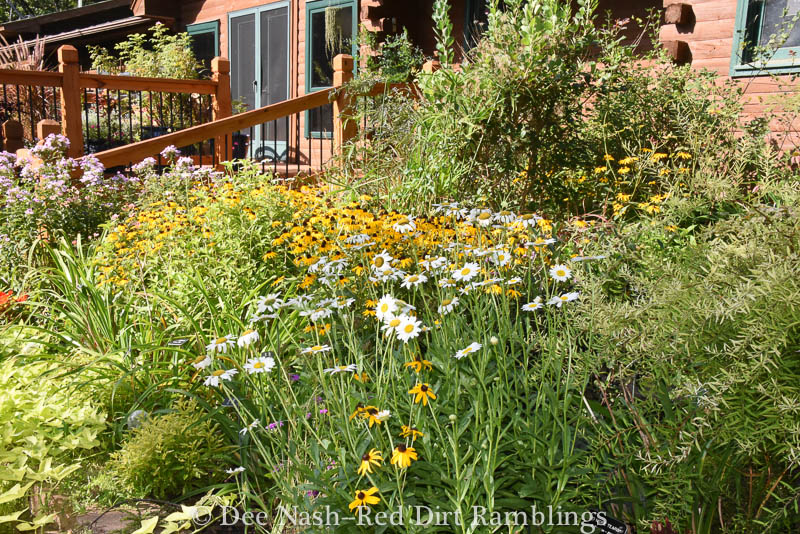 Tiered border with 'Becky' shasta daisy and 'Goldsturm' blackeyed Susans.