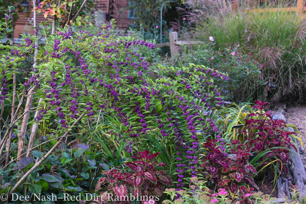 Japanese beautyberry with red coleus is a beautiful October combo.