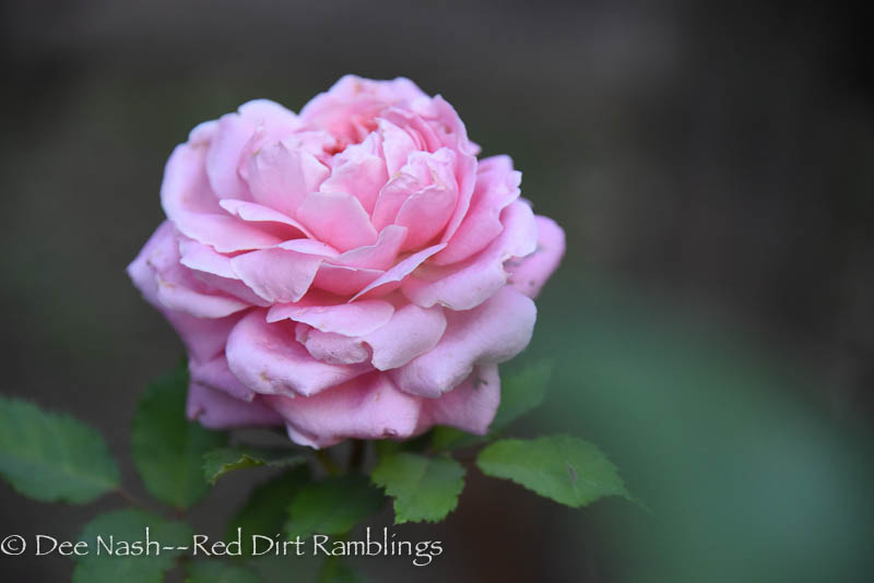 'Belinda's Dream' in October is ethereal.