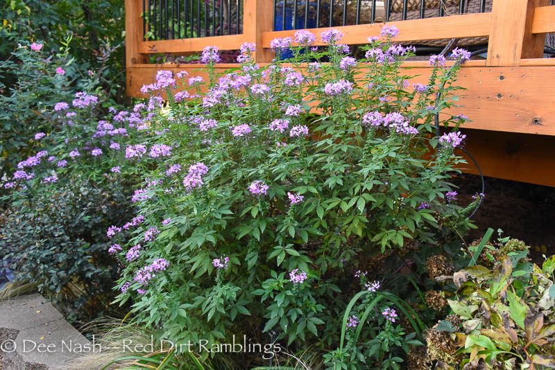 Senorita Rosalita® cleome, a great plant from Proven Winners®.