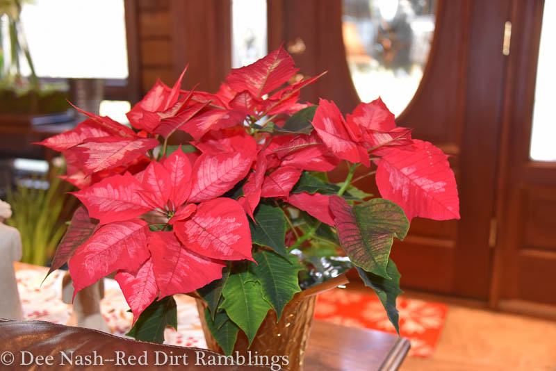 Red and pink poinsettia that sits on the sofa table near the front door.