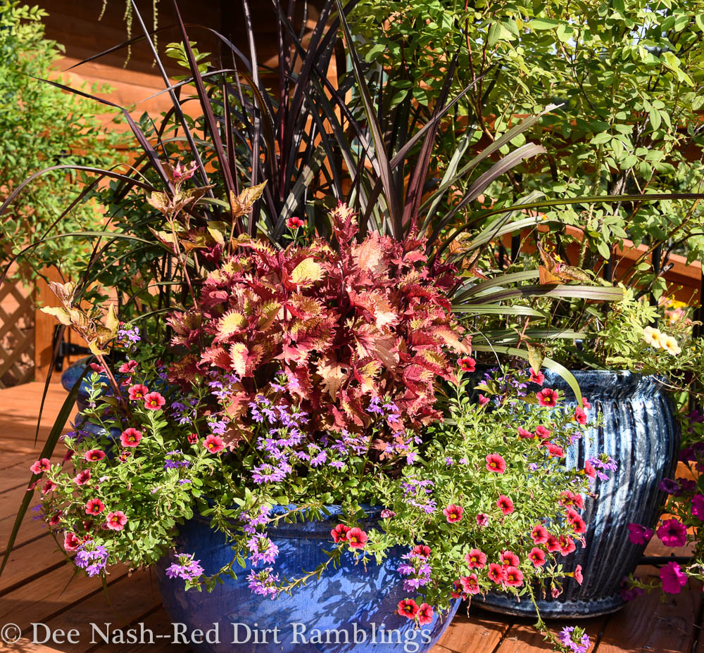 One of my containers on the deck with 'Henna' coleus, 'Princess Caroline' grass and some trailing plants. Crazy 'bout coleus