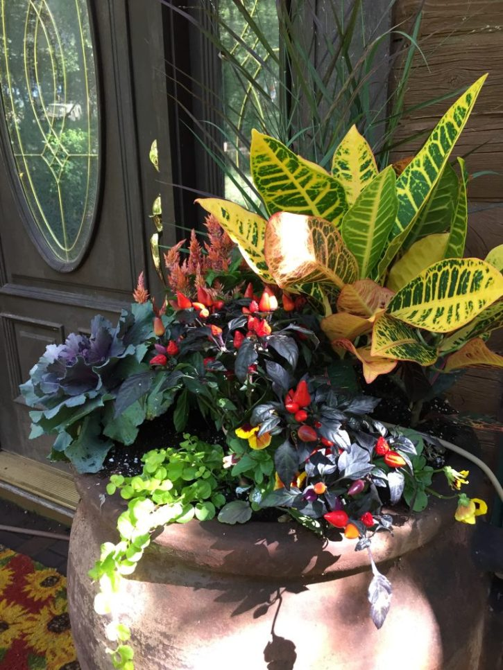 This is a closeup of the pot on the right hand side of the door. It has crotons, an ornamental pepper, ornamental kale, golden creeping Jenny to trail down the sides, and celosia.