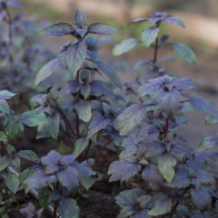 Basil, especially one with red or purple foliage is great in bouquets too. Photo courtesy of Chronicle Books.