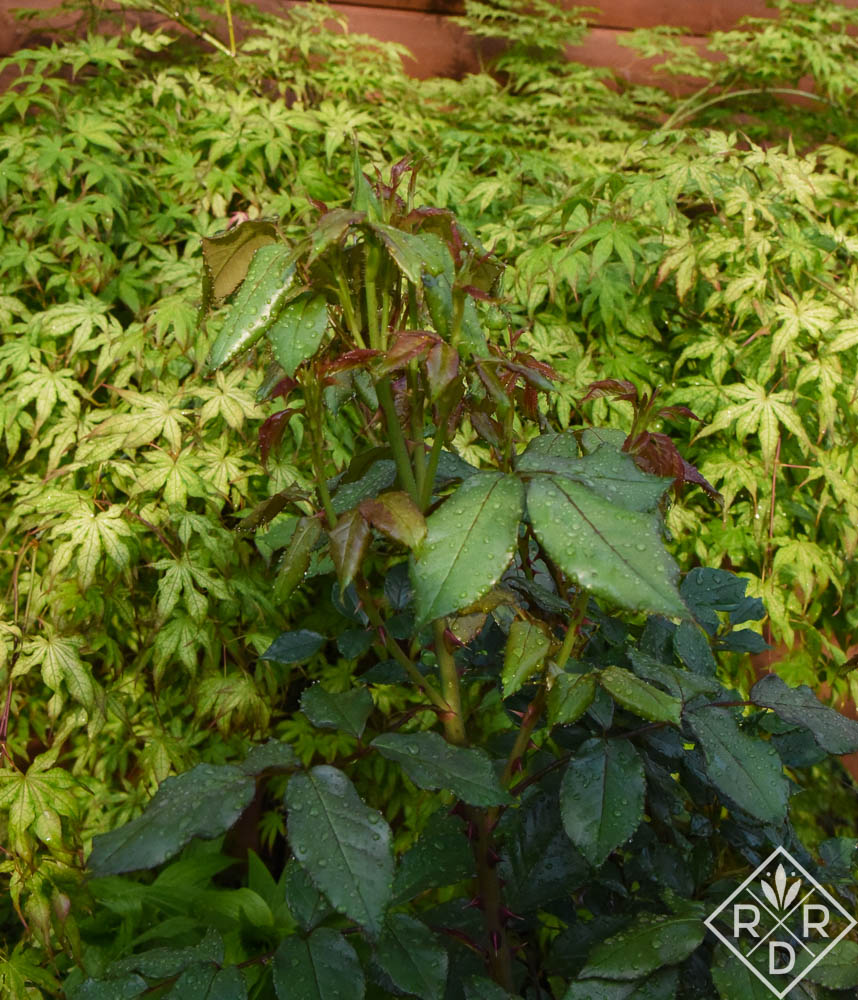 New foliage on Rosa 'South Africa' against the variegated leaves of Aer palmatum 'Peaches and Cream' Japanese maple. I do love Japanese maples and plant them every chance I get. They are so delicate in form and are easy to grow in the right spot with fertile soil.