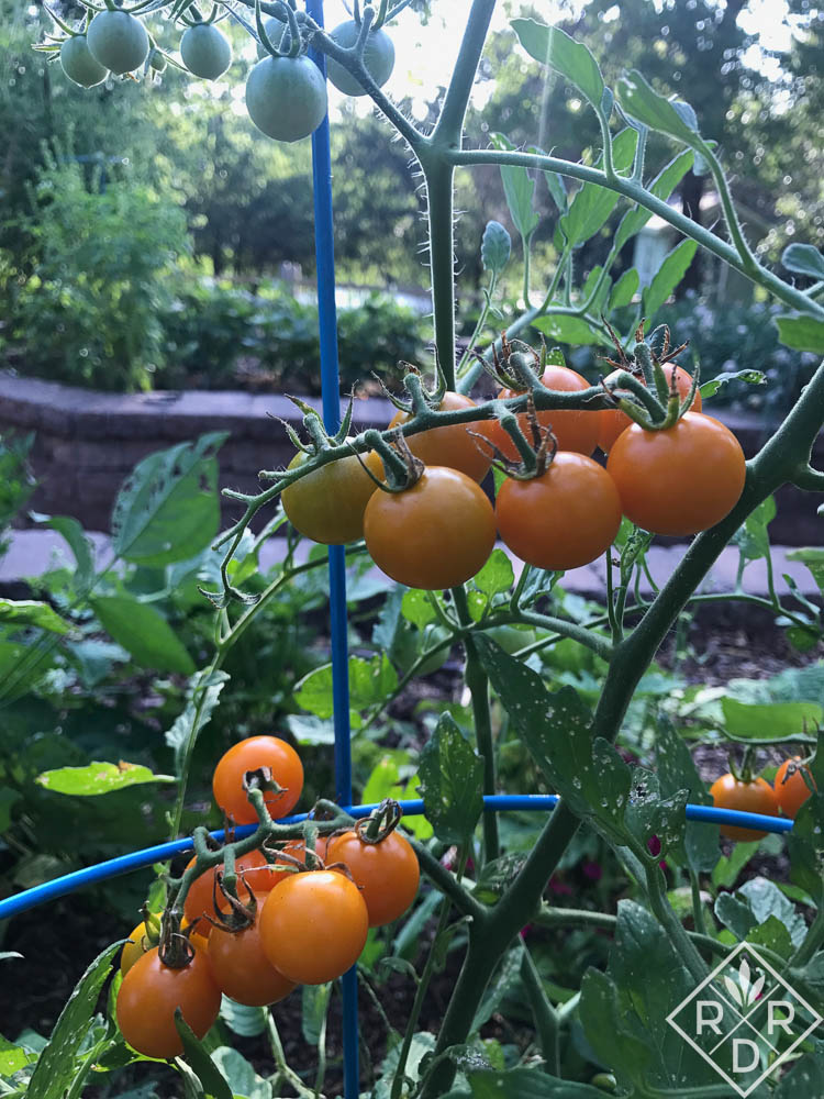 'Honey Drop' tomato from Hudson Valley Seed Co. is the best and sweetest cherry tomato I've ever eaten.