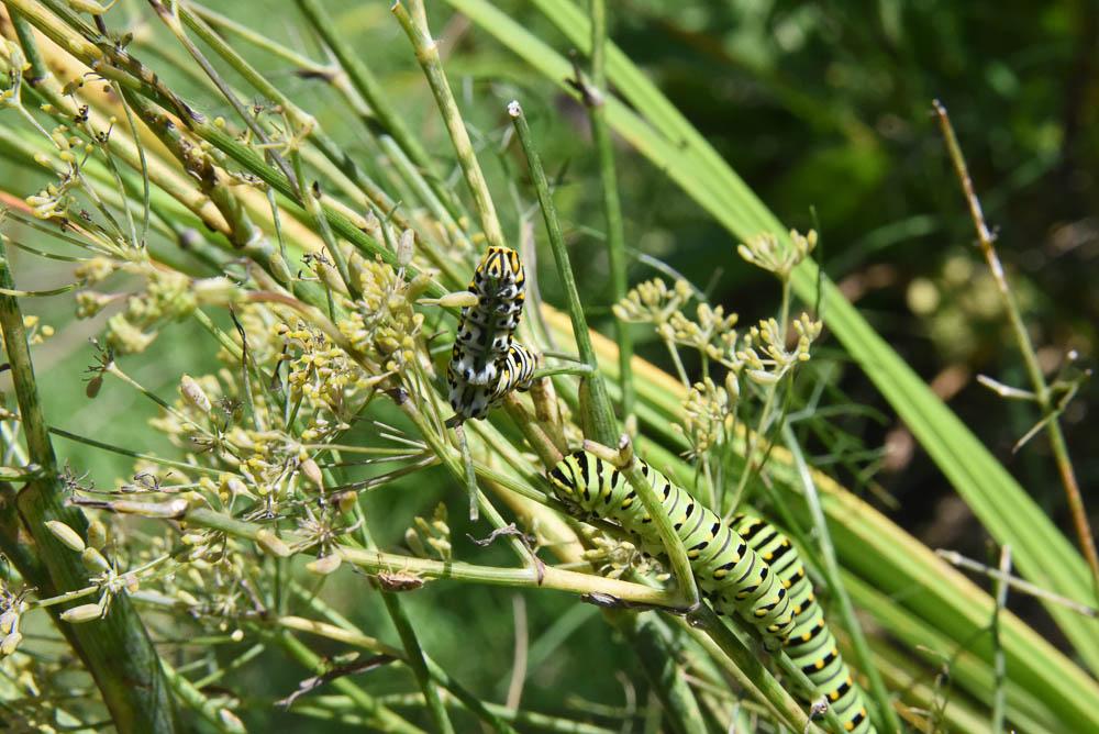 Swallowtail caterpillars say thank you for saving them.