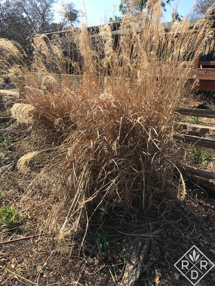 <em>Miscanthus sinensis,<em/> maiden hair grass at the top of the diamond. Garden Bloggers' Bloom Day