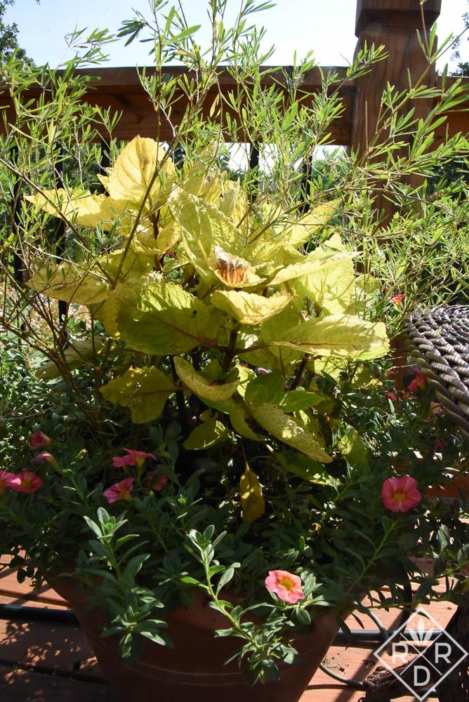 Lotus jacobaeus, black lotua with 'Large Marge' coleus and Superbells Tropical Sunrise calibrochoa.