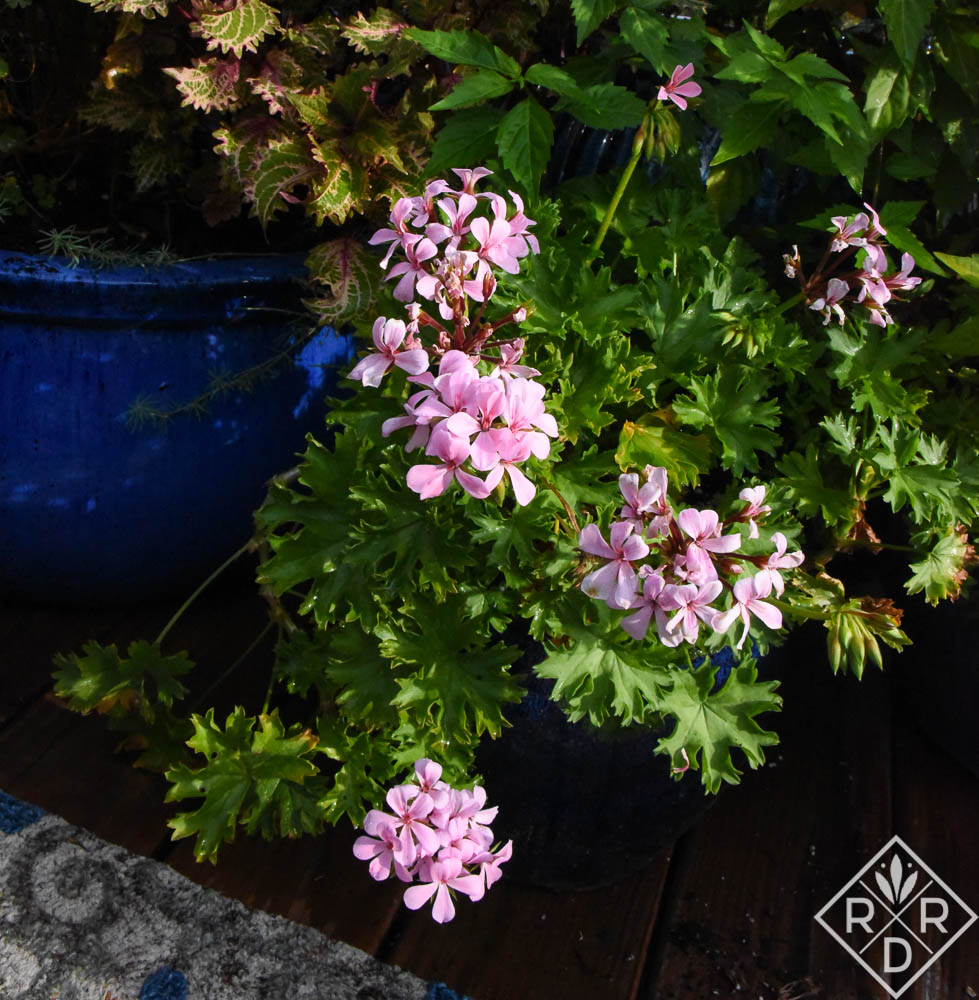 Pelargonium 'New Path' has also been a surprise. It has very thick leaves that have held up to the heat. Note, it does get some shade from the two larger containers surrounding it. I bought mine at Bustani Plant Farm this spring.