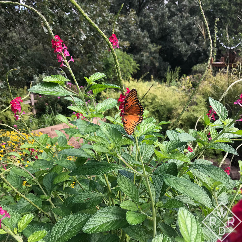 Gulf Fritillary butterfly on false vervain. I've seen up to four or five on this plant at one time.