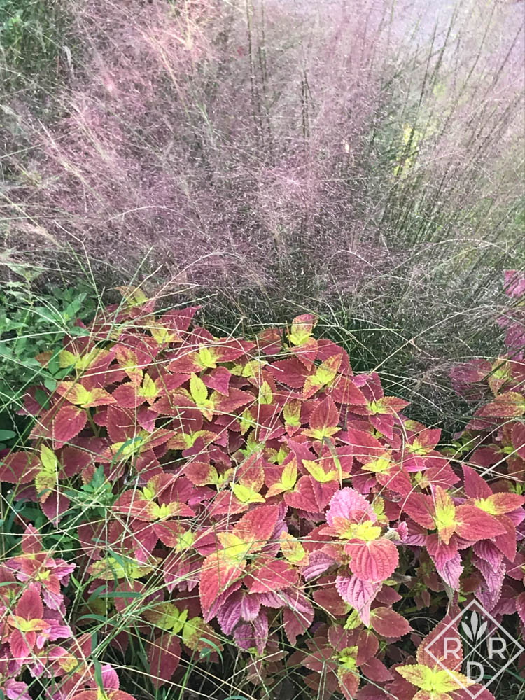 'Alabama Sunset' coleus looks great with with muhly grass 'Regal Mist.' In fact, 'Alabama Sunset' looks great with anything pink or yellow. Try it with lantana. It's pretty.