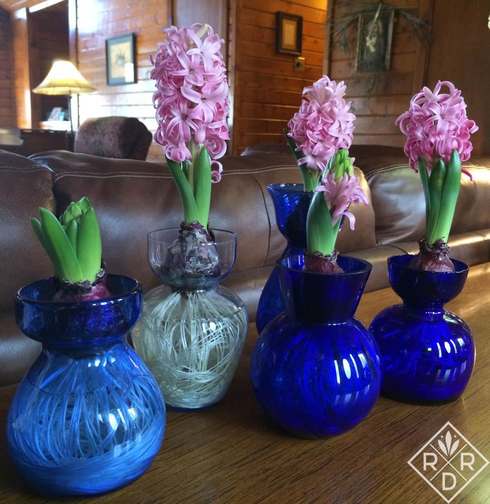 Hyacinths pretty in pink