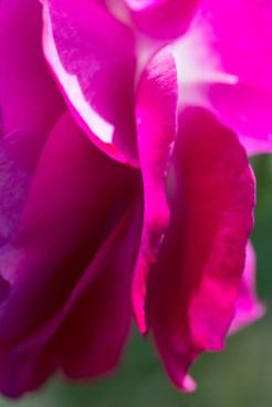 San-Jose-Rose-Gardens-20140720_0108