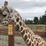 Oh, baby: April the gGiraffe is about to give birth again