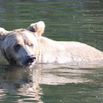 Alaskan Brown Bear Viewing by Bearviewinginalaska.com