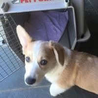 puppy-training-dallas