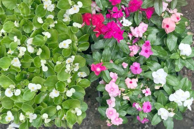 Begonias Periwinkles
