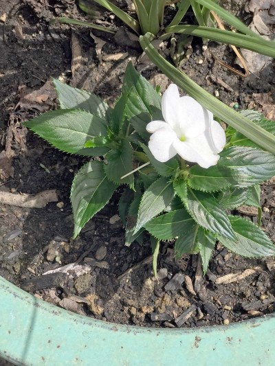 Impatiens New Bloom