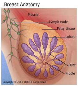 breast_cancer_normal_breast_breast_anatomy
