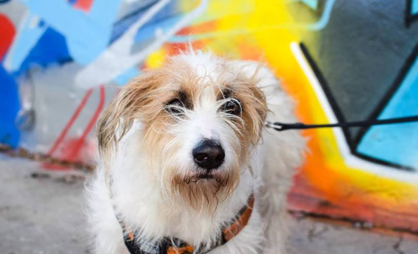 large terrier rescue dog