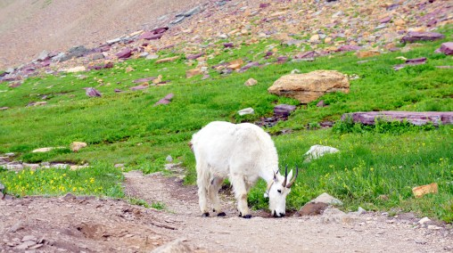Keep you eyes peeled when you are mountain goat country you may be able to spot their cotton like coats on trees.