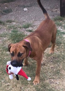 <UL> FOSTER NEEDED <UL>Posie <LI> Breed: Hound Mix <LI> Sex: F <LI> Age: 2 years old <LI> Fee: $225