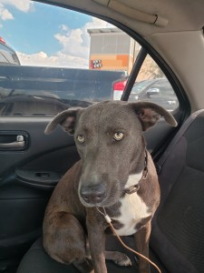 <UL> FOSTER NEEDED <UL>Sparrow <LI> Breed: Blue Lacey Mix <LI> Sex: F <LI> Age: 3 yrs <LI> Fee: $225