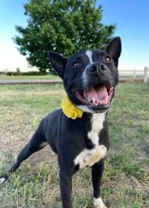<UL> Petunia <LI> Staffordshire Terrier mix <LI> Sex: F <LI> Age: 3 years <LI> Fee: $250