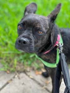 <UL> Daisy <LI> Purebred Boston Terrier <LI> Sex: F <LI> Age: 3 years <LI> Fee: $250