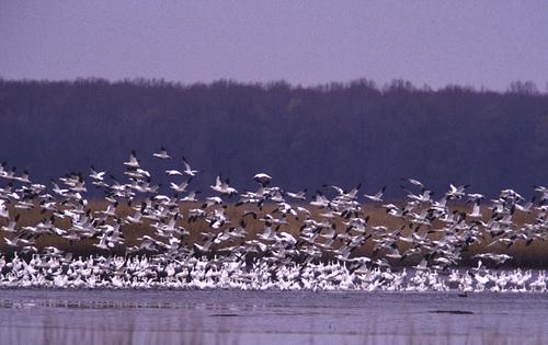 bombay__hook_snow_geese