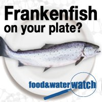 GMO salmon frankenfish food and water watch