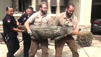 Hurricane harvey brings an alligator in the living room