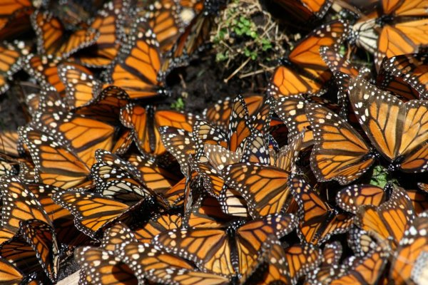 monarch butterfly migration mexico